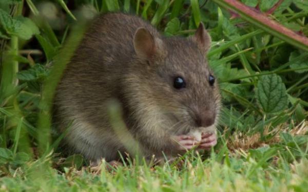 mua thuốc diệt chuột